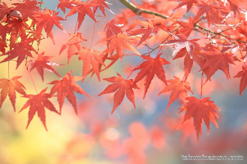 Red Japanese Maple Leaves of Yoshino