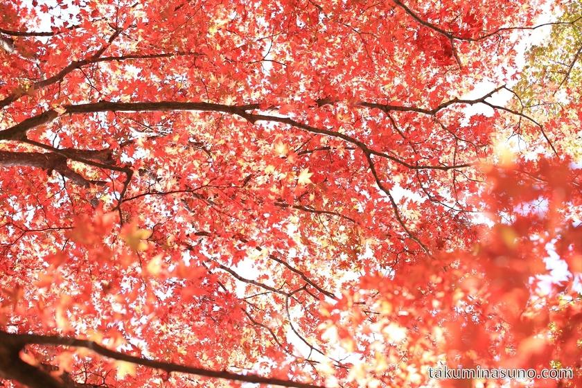 Red leaves at Kurama Temple