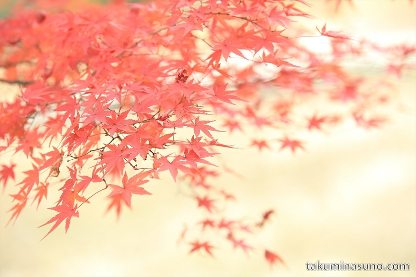 Red maple leaves at Showa Memorial Park