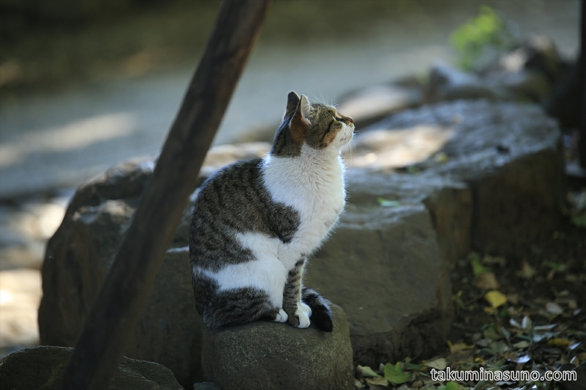 Wild Cat Wishing at Yoyogi Hachiman Shrine