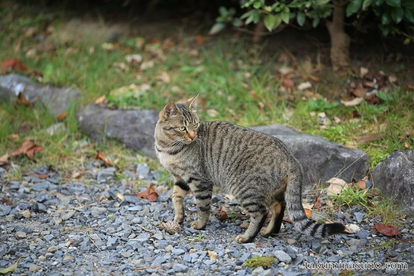 Wild Cat at Maruyama Park