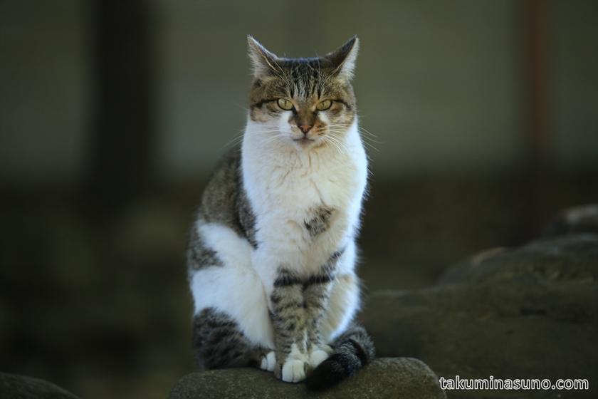 Wild Cat at Yoyogi Hachiman Shrine 01