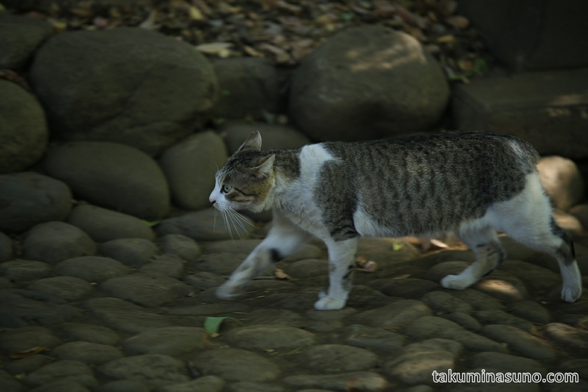 Wild Cat at Yoyogi Hachiman Shrine 02