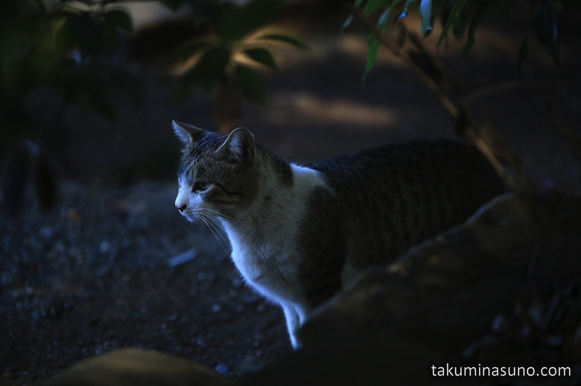 Wild Cat in the Shade at Yoyogi Hachiman Shrine