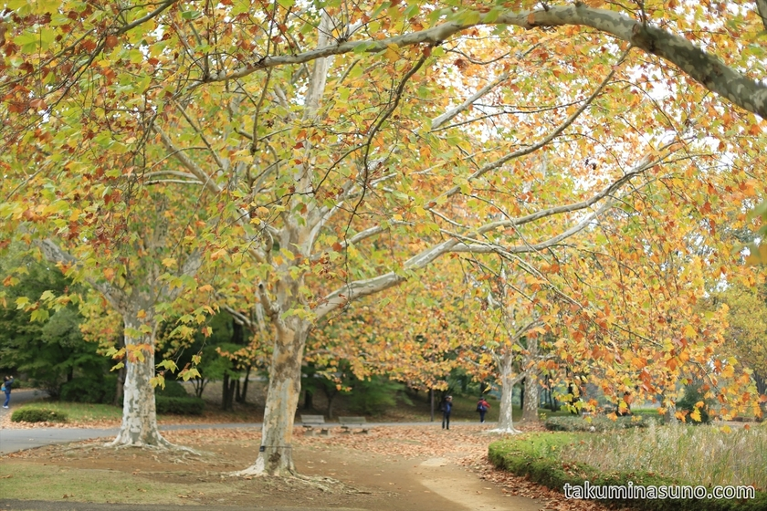 Yellow leaves with white trunks at Showa Memorial Park
