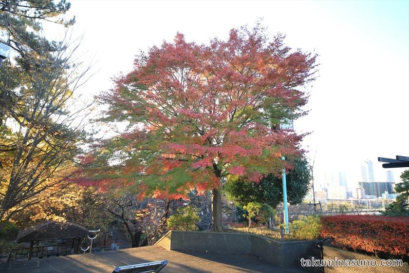 Autumn Colors of Japaenese Maple Tree at Tamagawadai Park