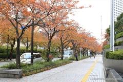 紅葉レポ2014 川崎の道路を彩る桜並木の紅葉