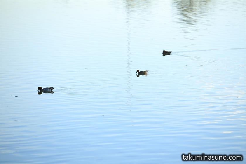 Ducks in Tama River