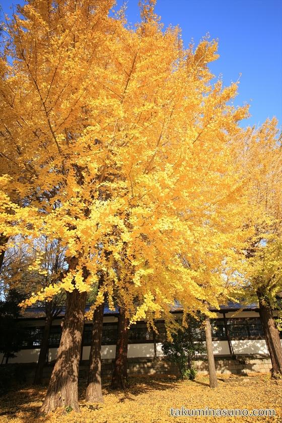 Gingko Trees at Sojiji Temple