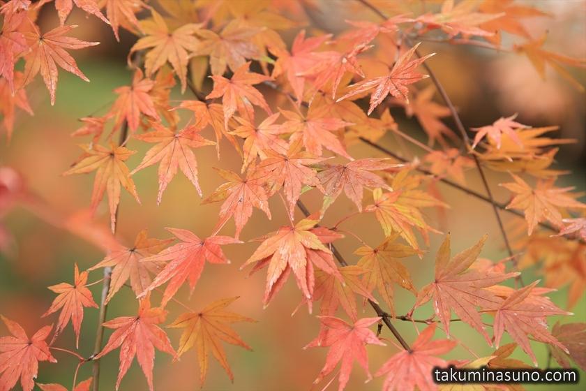 Japanese Maple Leaves at Kotokuin Temple