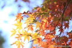 紅葉レポ2014 多摩川台公園の紅葉、ピークを逃す・・・