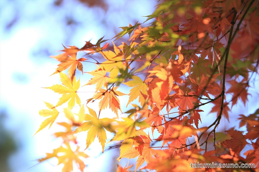 Japanese Maple Leaves at Tamagawadai Park