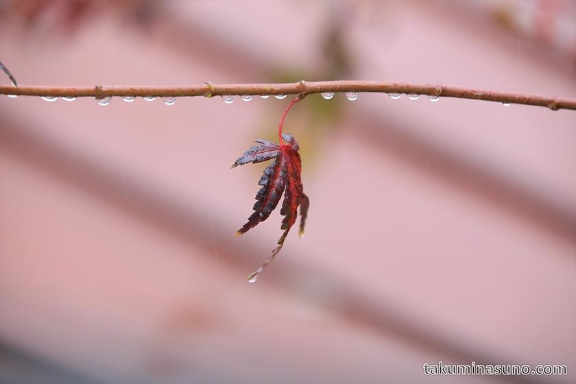 Japanese Maple Leaves in the Rain