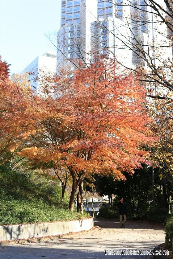 Japanese Maple Tree at Shinjuku Central Park