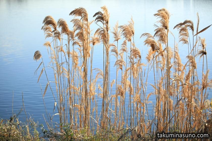 Japanese Pampas Grass along Tama River