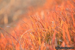 Unexpected Color - Wild Plants along Tama River in the Sunset Time