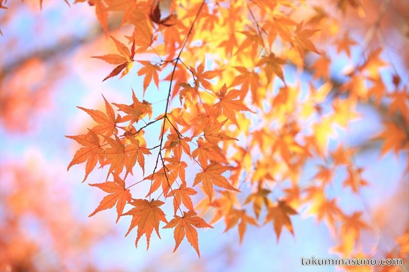 Orange Japanese Maple Leaves at Shinjuku Central Park