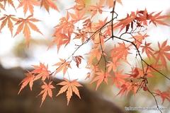 紅葉レポ2014 遅ればせながら、鎌倉にも紅葉がやってきました!