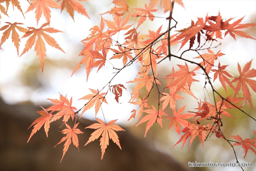Orange Maple Leaves of Genjiyama Park