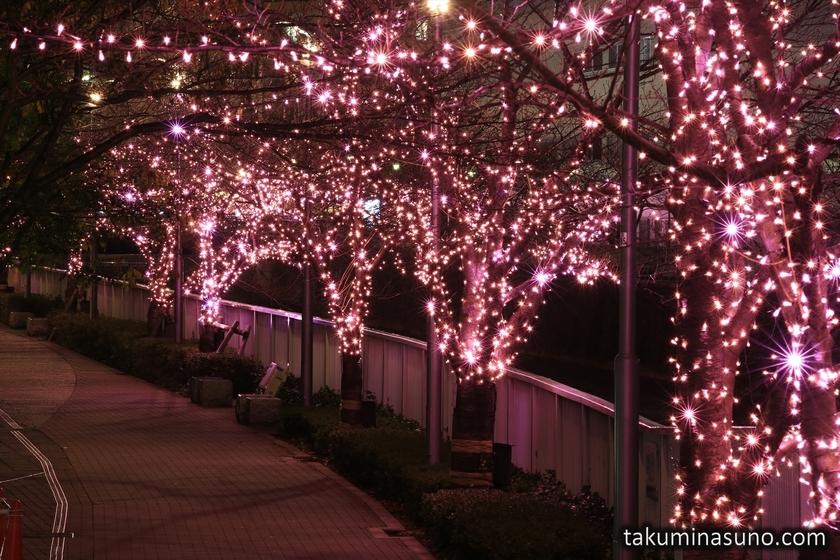 Pink Sakura of Meguro River Illumination for Everyone 2014