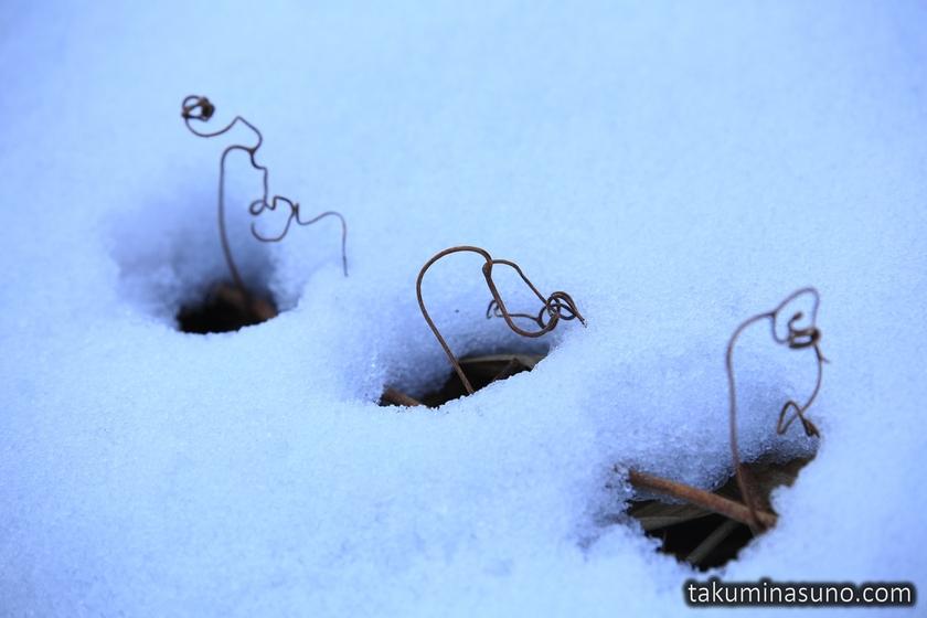Plants from Snow of Lake Toyanogata in Niigata