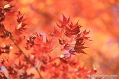 紅葉レポ2014 新宿中央公園のカエデが紅葉真っ盛り!