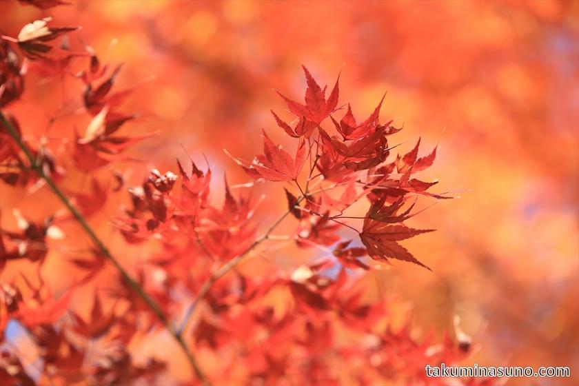 Red Japanese Maple Leaves at Shinjuku Central Park