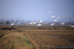 Swans Fly in the Cloudy Sky of Niigata