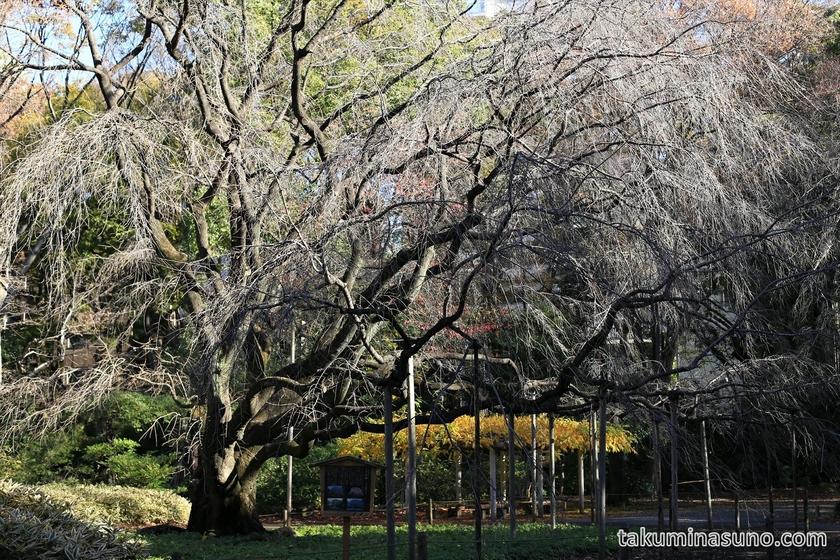 Weeping Cherry Tree Lost Leaves at Rikugien Gardens