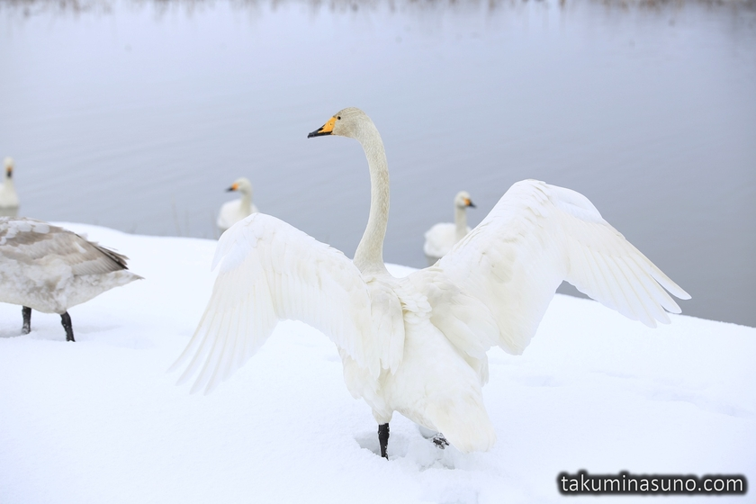 Pure White Swan