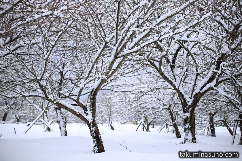 Snowy Trees of Lake Hyoko