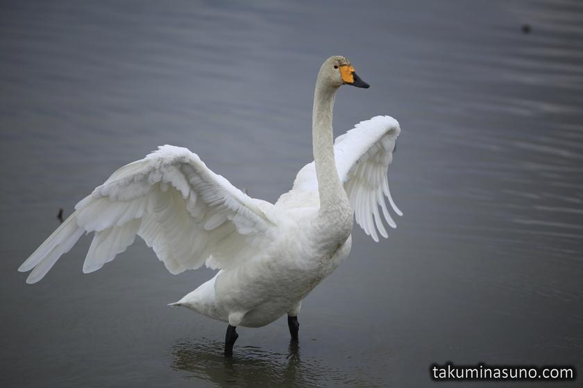 Swan Opens Wings