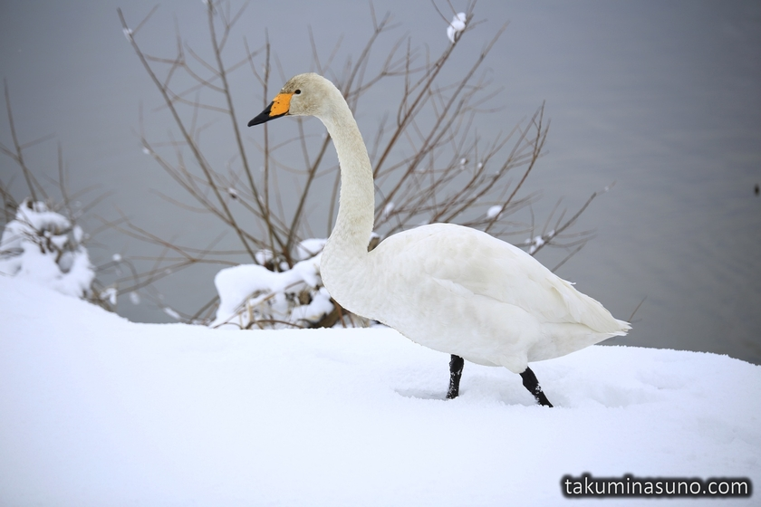 Swan Walking on Snow
