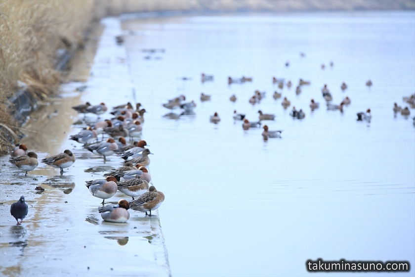 Ducks along Tama River