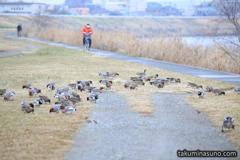 Ducks at Riverside of Tama River
