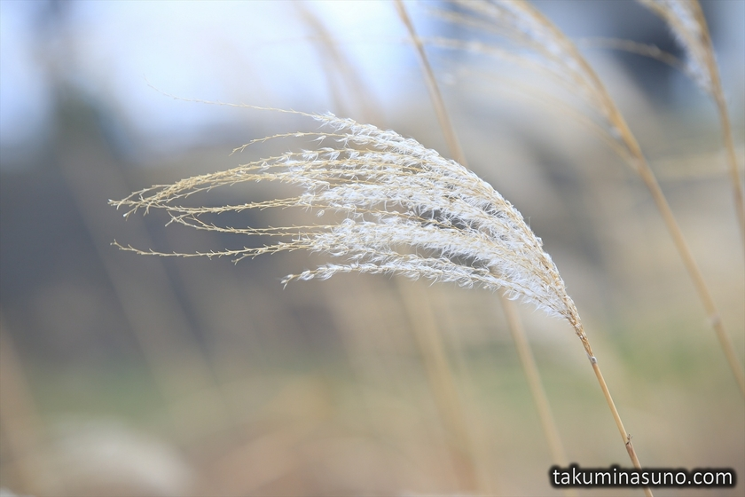 Japanese Pampas Grass with Some Downs