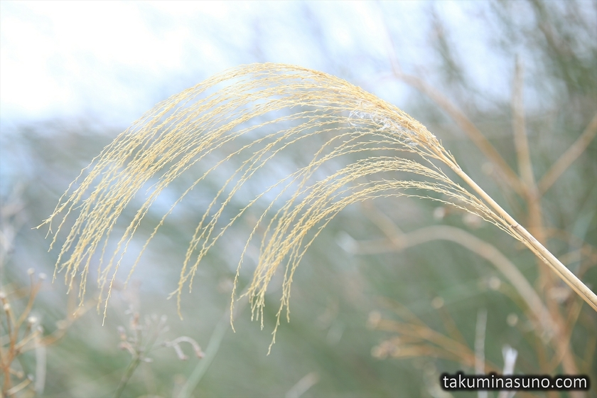 Japanese Pampas Grass without Downs