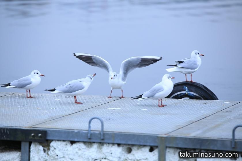 Seagulls Posing