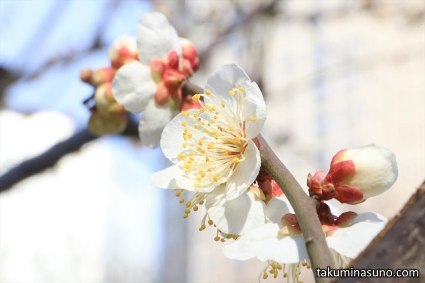 Ume Blossoms at Shinjuku Central Park
