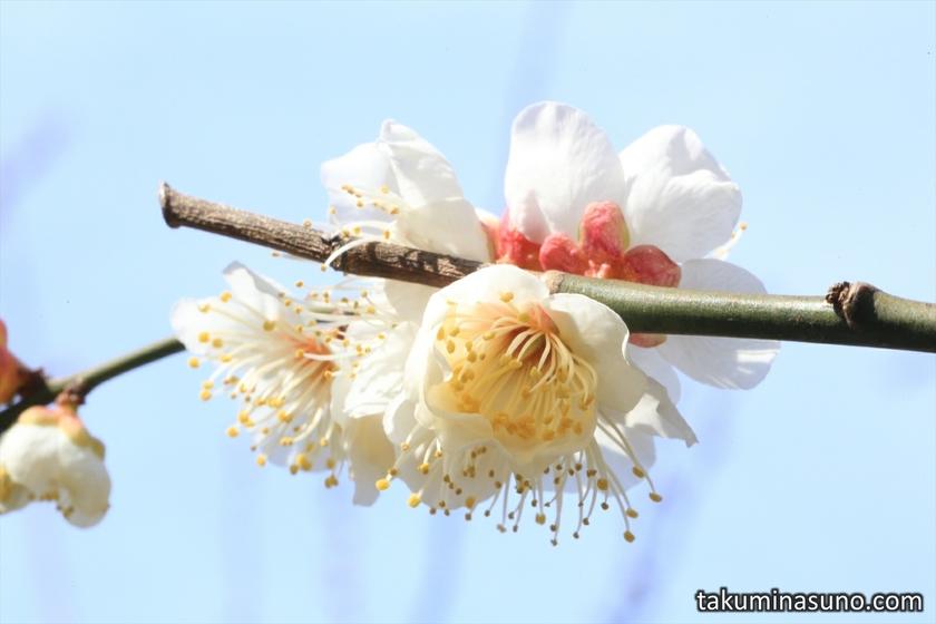 Ume Blossoms with Blue Sky at Shinjuku Central Park