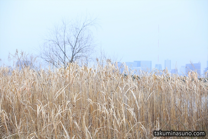 Withered Plants along Tama River