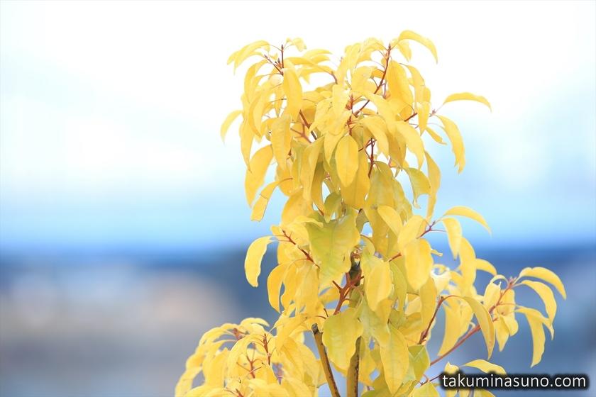Yellow Plants near Tama River
