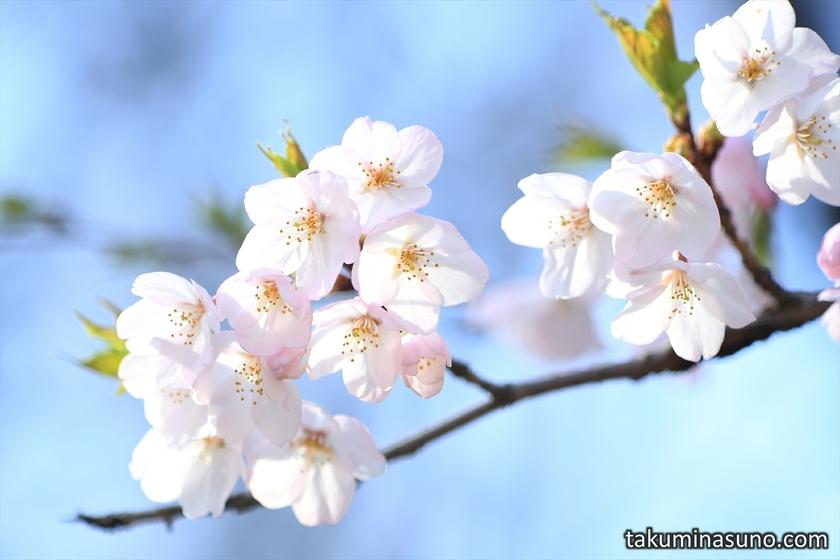 Best Shot of Sakura at Tamagawadai Park