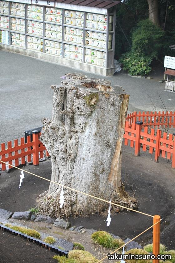 Big Ginkgo Tree Blown Down at Tsurugaoka Hachimangu Shrine