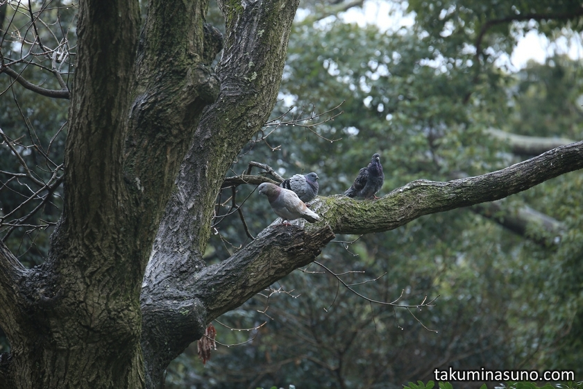 Cool Doves at Tsurugaoka Hachimangu Shrine