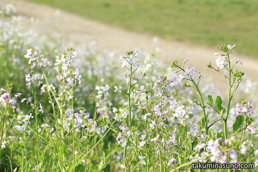 Flowers of Japanese Wild Radish along Tama River