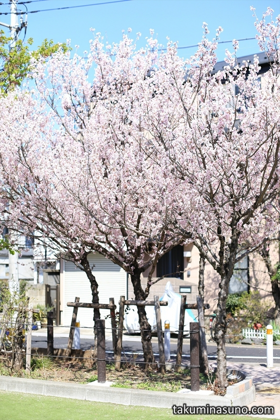 From the Inside of Honmachi Sakura Park