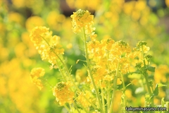 The World Full of Warm Spring - Canola Flowers of Shinjuku Central Park