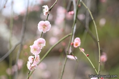 Second Challenge to Ume Blossoms - I visited Ikegami Baien Plum Garden in My Current Town