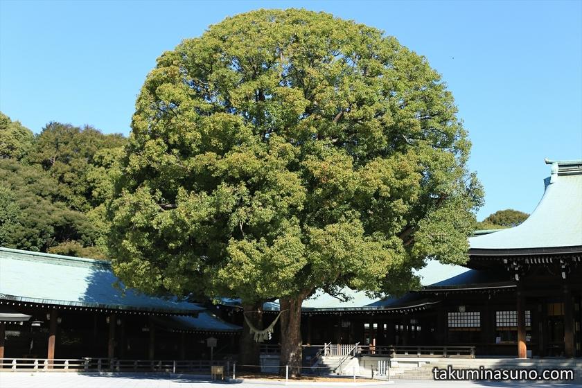 God Tree of Meiji Jingu Shrine